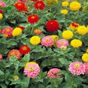 hạt giống hoa cúc susi