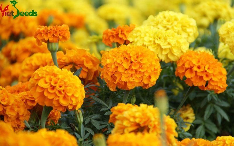 hạt giống hoa cúc nhật