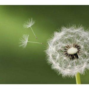 hạt giống hoa bồ công anh