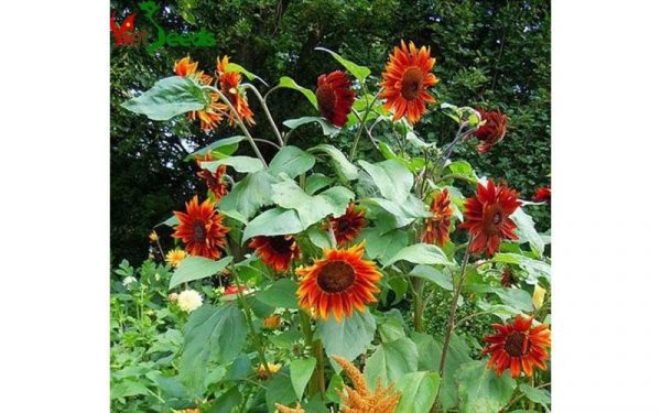hạt giống hoa hướng dương đỏ