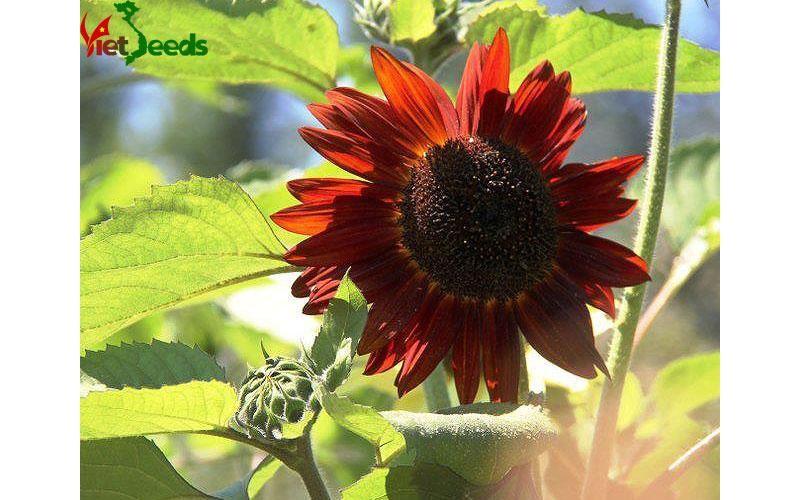 Mua hạt giống hoa hướng dương đỏ