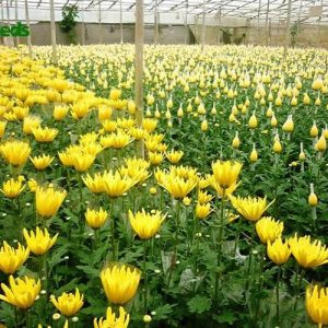 hạt giống hoa cúc đà lạt