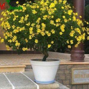 hạt giống hoa cúc thân gỗ