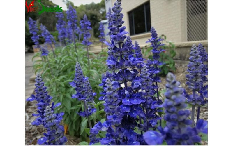 mua hạt giống hoa xác pháo xanh