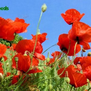 hạt giống hoa popy