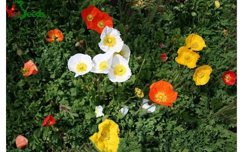 mua hạt giống hoa popy