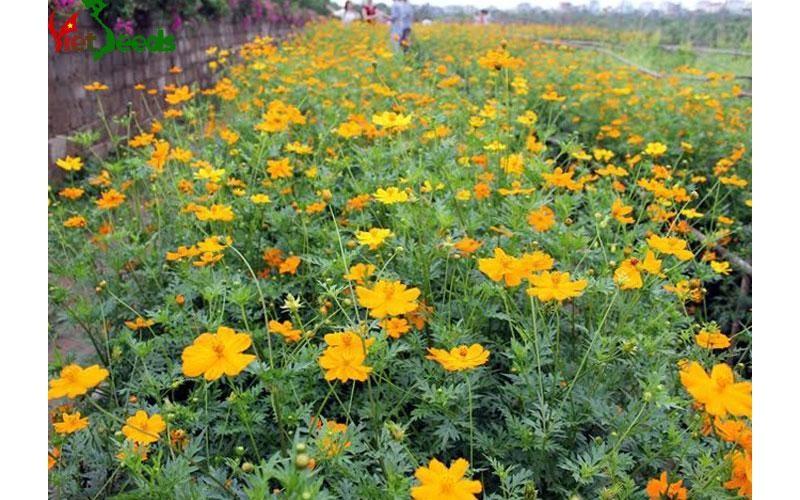 hoa cúc bướm màu vàng