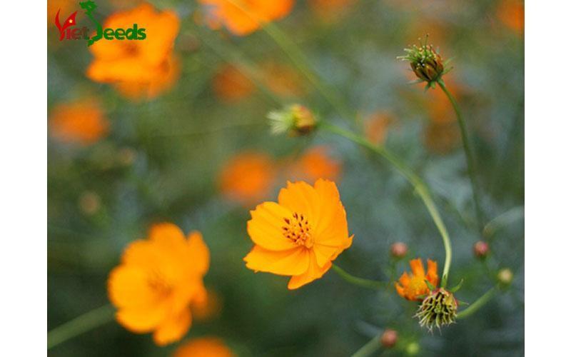 mua hạt giống hoa cúc bướm