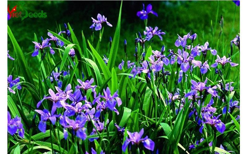 hạt giống diên vĩ xanh