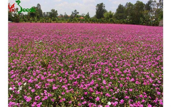 hạt giống dừa cạn hồng