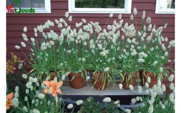 hạt giống cỏ đuôi thỏ
