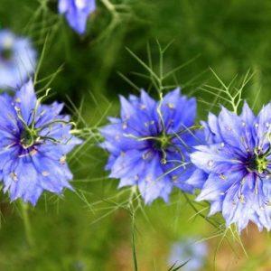 hoa bảo thạch ba tư