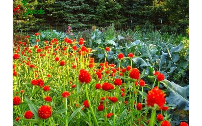 hoa cúc bách nhật đỏ