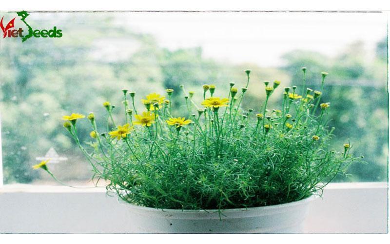 hạt giống hoa cúc sao băng
