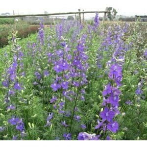Cây giống hoa violet