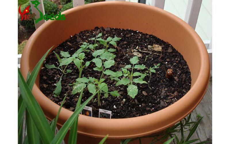 Cà chua bi cao cây