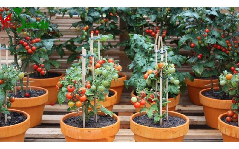 cà chua bi lùn quả đỏ
