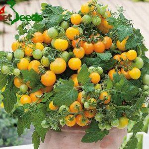cà chua bi lùn quả vàng