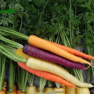 hạt giống cà rốt nhiều màu