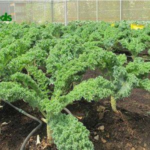 hạt giống cải xoăn xanh