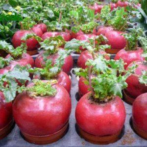 hạt giống củ cải đỏ lớn