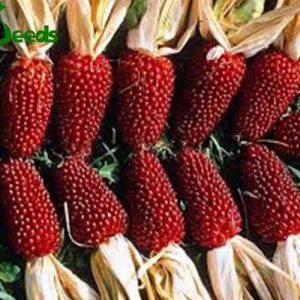 hạt giống ngô mini