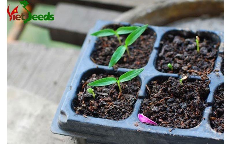cách gieo trồng ớt kiểng
