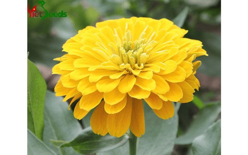 hạt giống hoa cúc nhi nha vàng