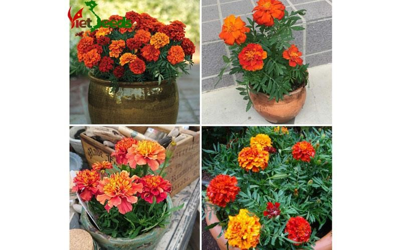 Mua hoa cúc vạn thọ pháp