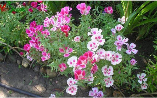 hoa hồng xuân