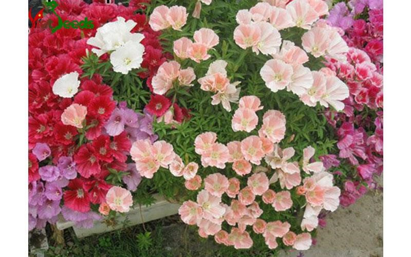 mua hạt giống hoa hồng xuân