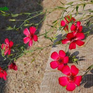 hạt giống hoa lanh