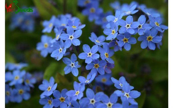 hạt giống hoa lưu li