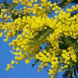 hạt giống mimosa