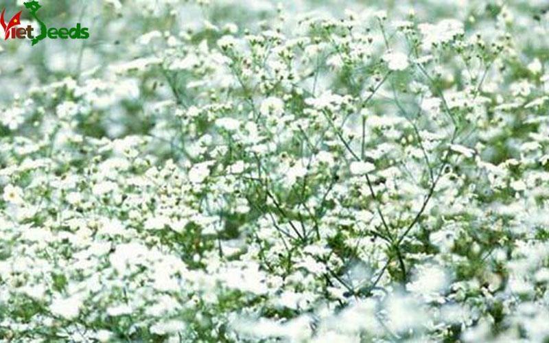 Hoa ngàn sao trắng