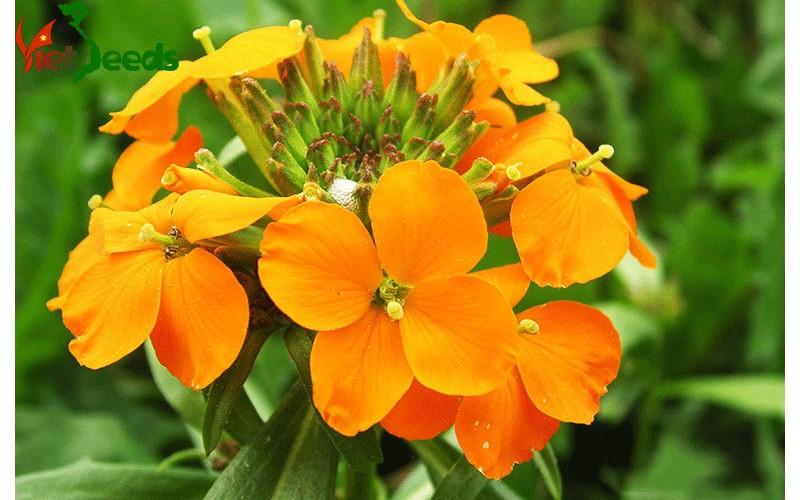 hạt giống hoa quế cúc vàng