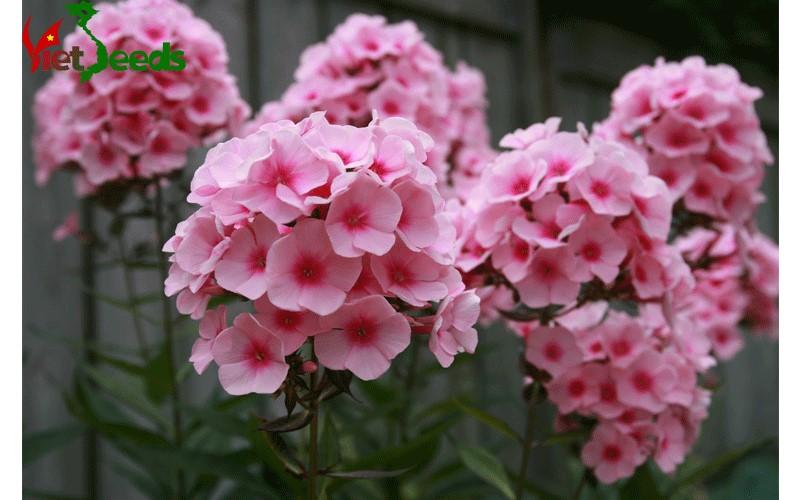 hoa thanh trúc đẹp