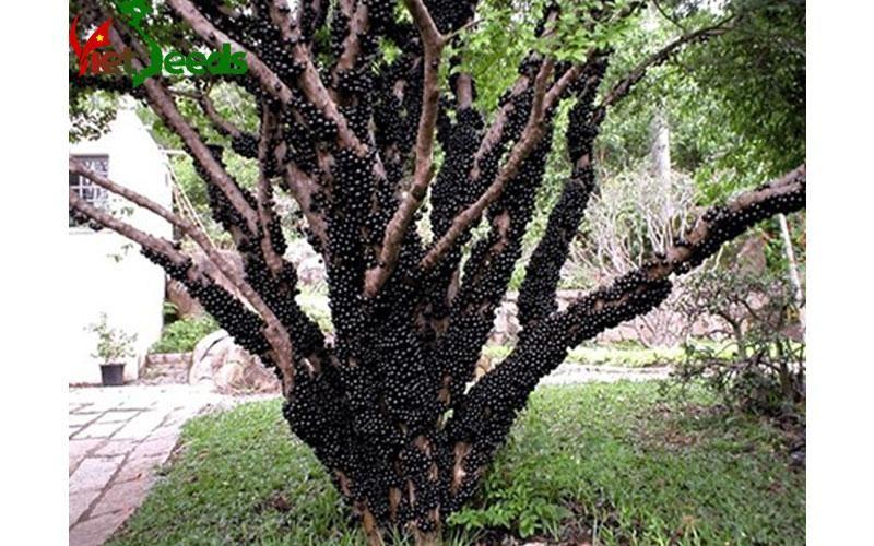 Hạt giống nho thân gỗ