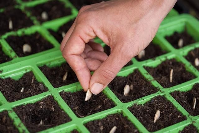 hướng dẫn trồng hạt giống hoa