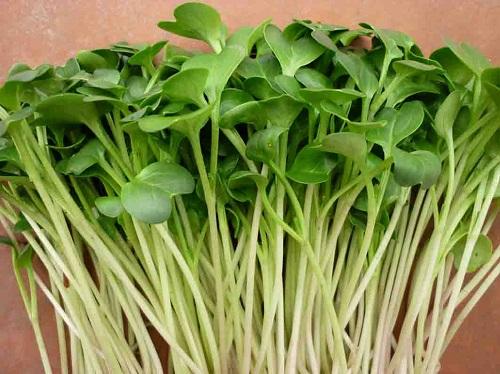 hạt giống rau mầm cải trắng